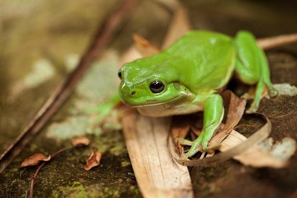 Green tree frog, Australia